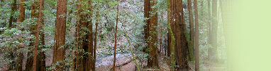 Come walk the Redwoods of Muir Woods