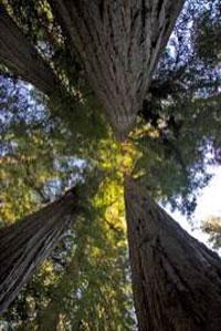 Mir woods