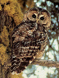 Spot a Spotted Owl with Tom in the Muir Woods